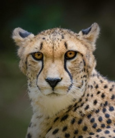 Not so fast: Why India's plan to reintroduce cheetahs may run into problems