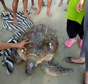 Green sea turtle rescued at Palolem