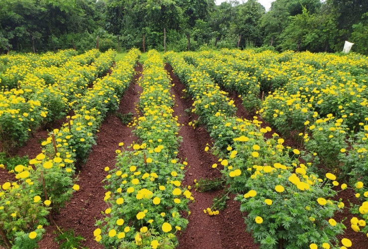 Local marigolds in full bloom across the state