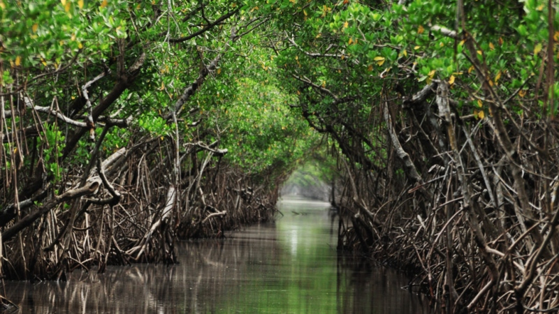 Sea-level rise is dangerous for mangrove forests