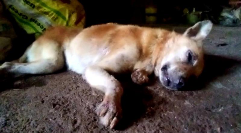 Faithful dog protects Netravali family; kills snake, but loses life